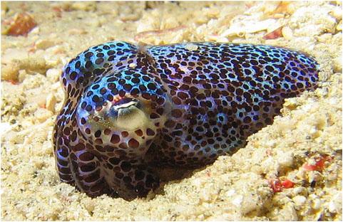 海底动物简笔画乌贼